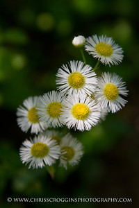 Common Fleabane,  Gunpowder Falls State Park.