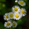 Common Fleabane, <br /> Gunpowder Falls State Park.