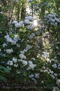 Sunlit Mountain Laurel and Trees,  Gunpowder Falls State Park, Md.
