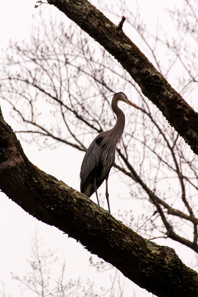 Great blue heron in Gunpowder Falls State Park - Taken with Canon XSi and Tamron 70-300 VC lens.
