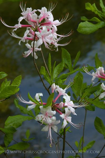Wild Pink Azaleas<br />  Gunpowder Falls State Park<br /> Maryland