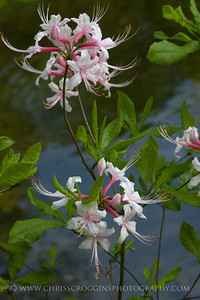 Wild Pink Azaleas  Gunpowder Falls State Park Maryland