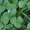 Nodding Trilliums, Gunpowder Falls State Park, Maryland