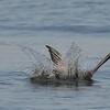 Caspian Tern diving for fish