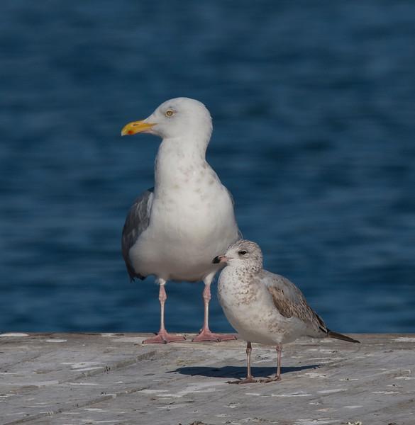 Herring Gull and Ring-billed Gull