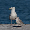 Herring Gull and Ring-billed Gull