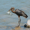 Black Great Blue Heron at Guntersville Dam 14 Jun 2014