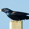 Grackle with bread