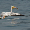 American White Pelican 15 June 2013