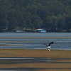 Bald Eagle with fish at Marshall Co Park