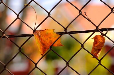 Lönnlöv i staket