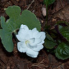 Bloodroot (Sanguinaria canadensis 'Multiplex')   <br /> Prennial double flowered Bloodroot