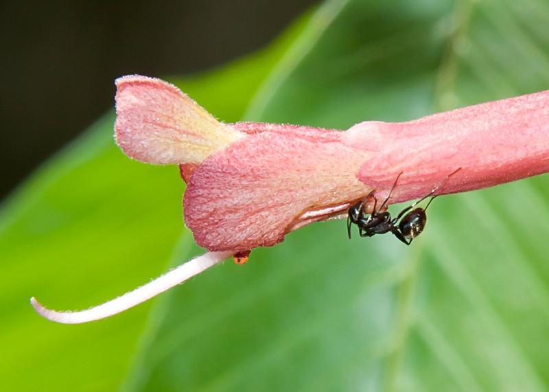 Ant on Buckeye flower
