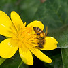 Honey Bee on Fig Buttercup (Ranunculus ficaria)