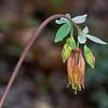 Wild Columbine (Aquilegia candensis)
