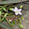 Virginia Spring Beauty (Claytonia virginica)
