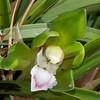 """Eco-Snowbird"" Orchid by Don Jacobs (Cymbidium goeringii)"