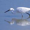 Snowy Egret fishing