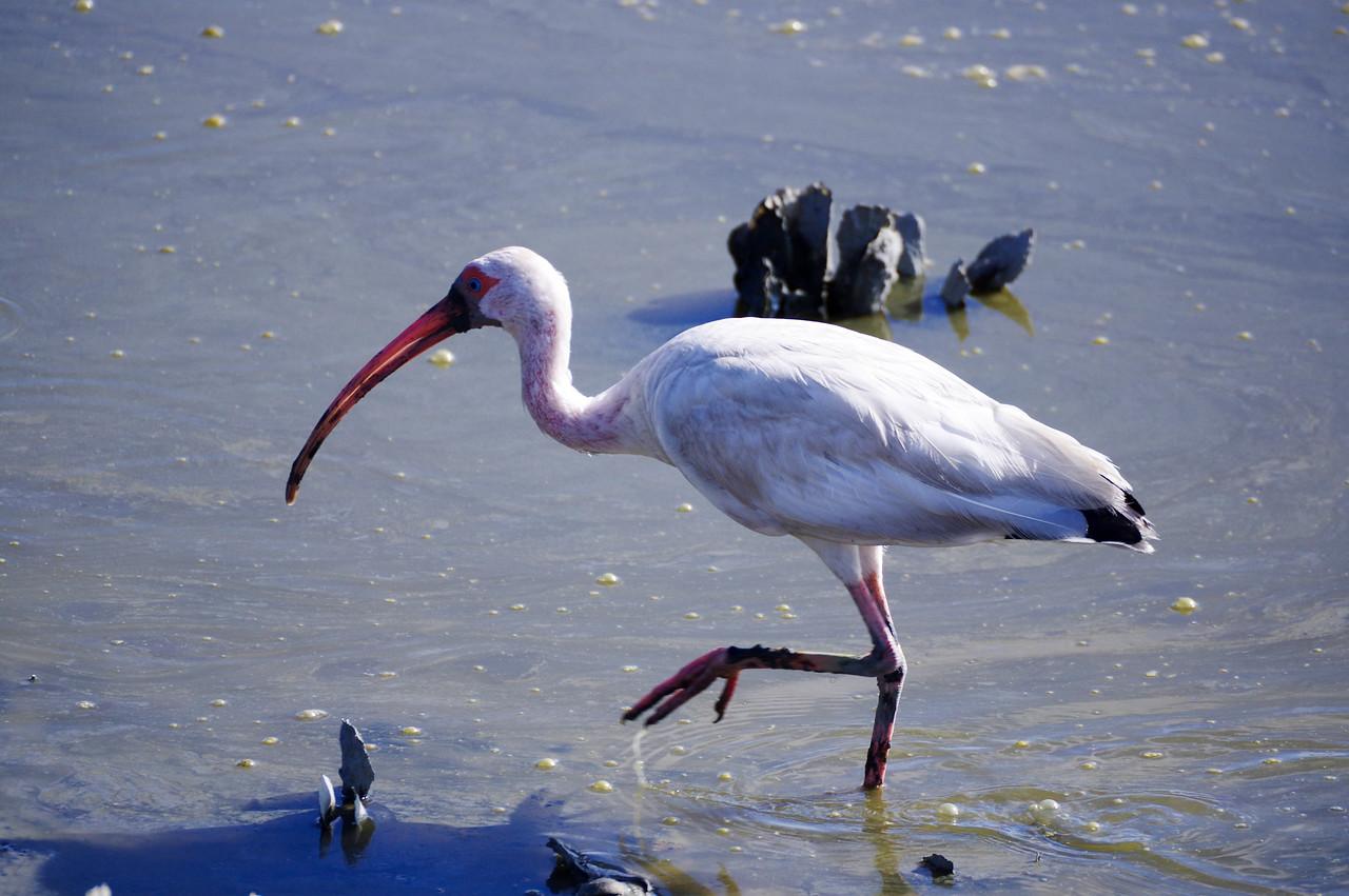 Imature White Ibis