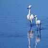Snowy Egretts