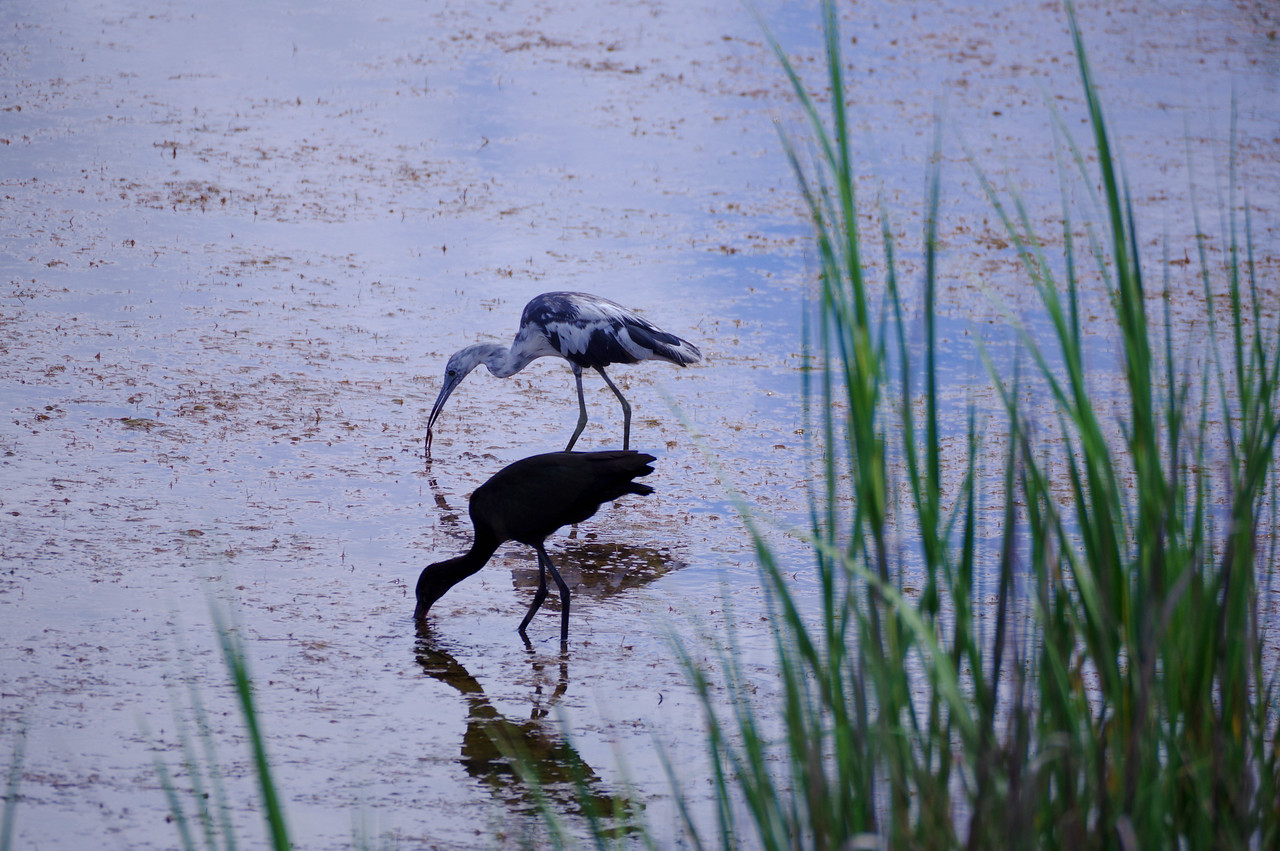 Little Blue Heron juvenile with Glossy ibis