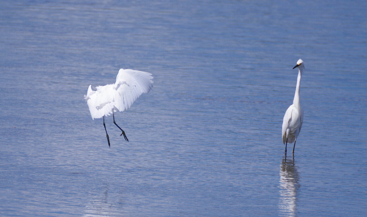 Great Egret landing, Snowy Egret on left