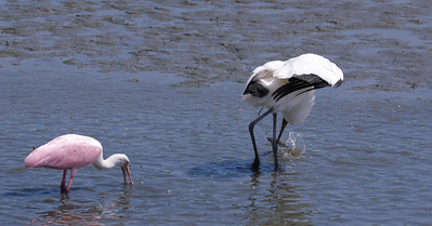woodstork with fish