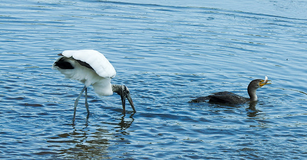 Woodstork and Double Crested Corrmerant