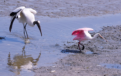 Spoonbill with the fish