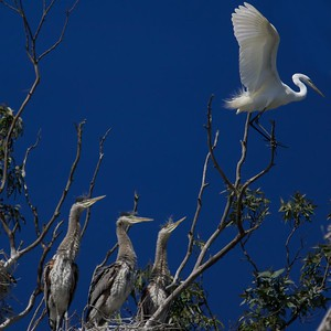 Blue Heron fledglings with Snowy Egret
