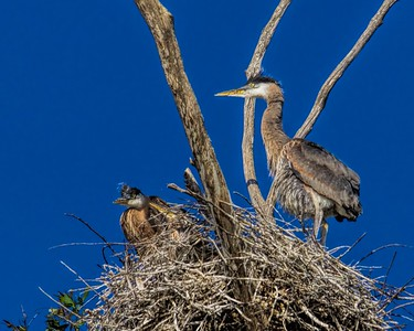 Great Blue Heron (Ardea herodias) chicks