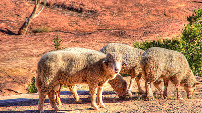 Canyon de Chelly Sheep