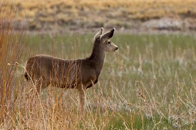 Bosque del Apache Deer