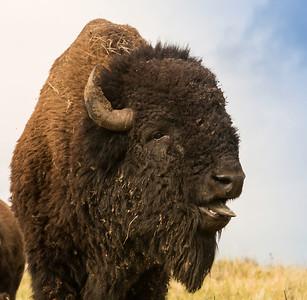 Tatanka - Custer State park