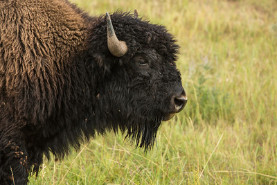 Bison at Custer SP
