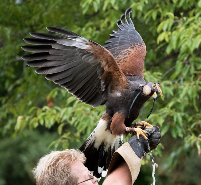 Harris Hawk with its hood on