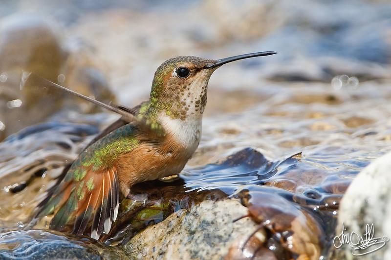 Allen's Hummingbird Bathing