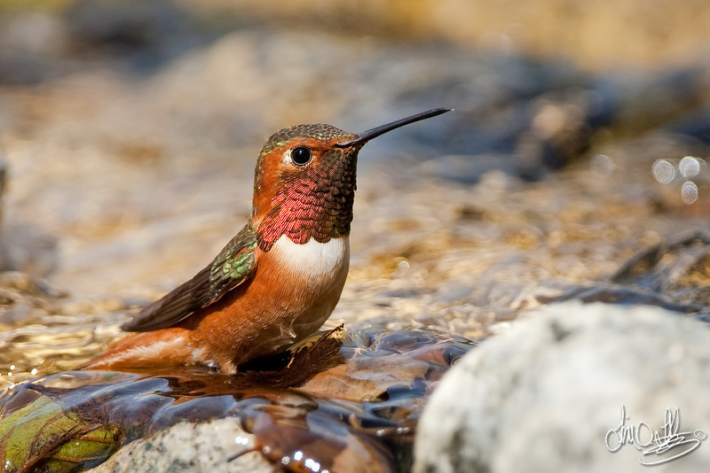 Allen's Hummingbird Taking a Bath