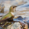 Allen's Hummingbird Bathing