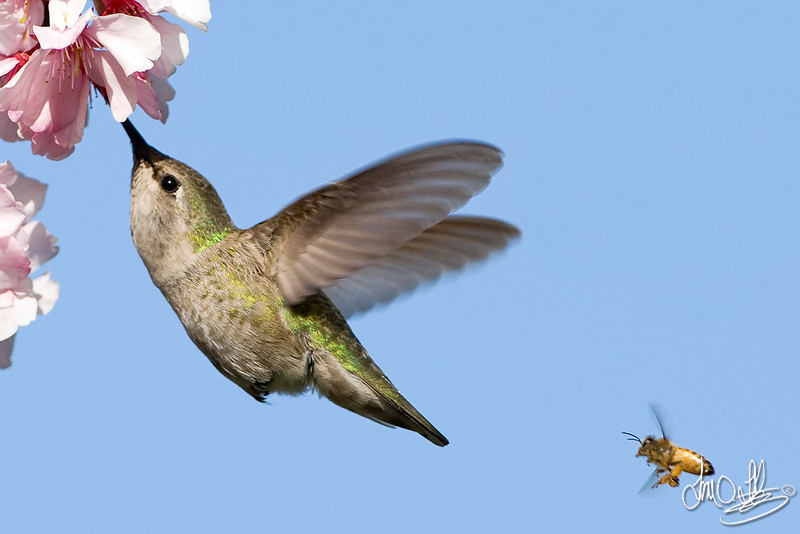 Anna's Hummingbird and a Honeybee