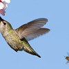 Anna's Hummingbird and a Honeybee