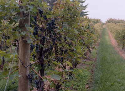 Vignes, Niagara-on-the-Lake