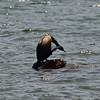 Itchy Cormorant