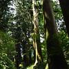 Ceder trees