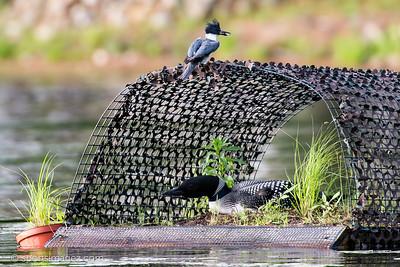 Loons, Halfmoon Lake, NH