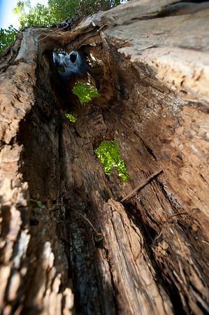 Hallow Tree 08.29.14