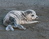 Seal Pup on Sand
