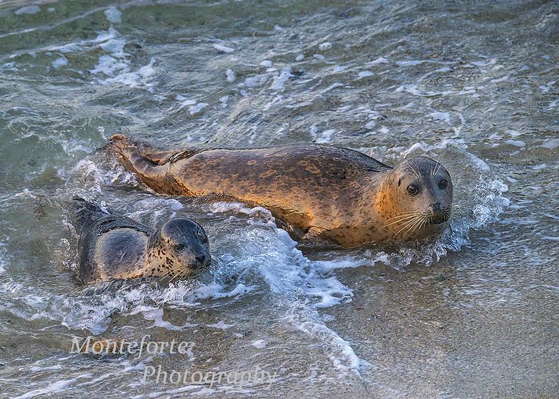 Harbor seal Phoca vitulina