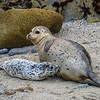 Harbor seal Phoca vitulina