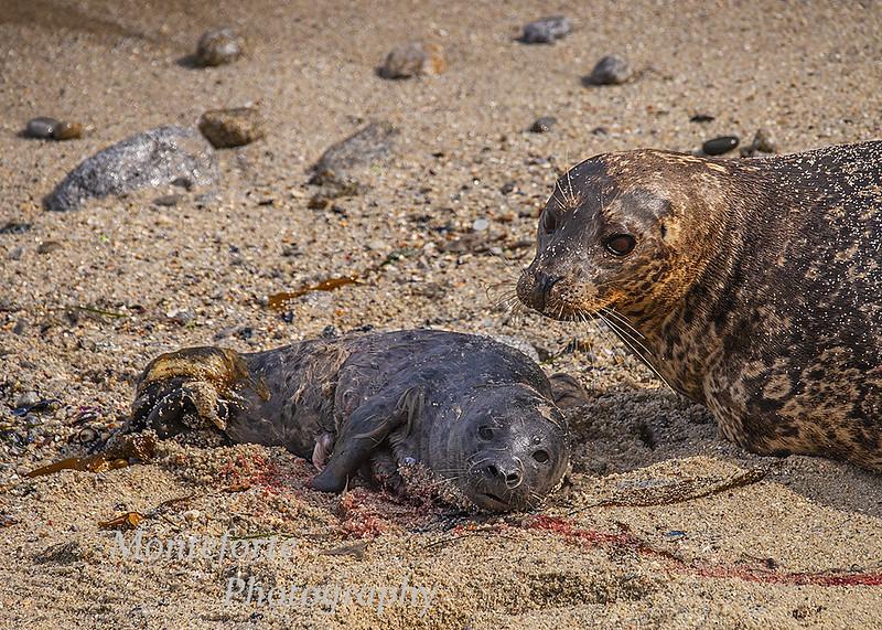 Harbor seals Phoca vitulina